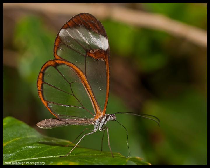 Glasswinged butterfly (Greta oto)
